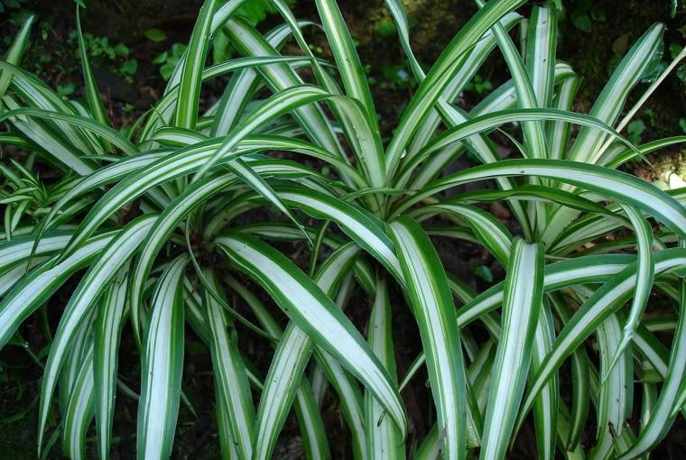 Zielistka (Chlorophytum) to jedna z najbardziej odpornych roślin, dobrze znosi cień.