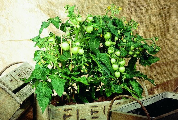 Najlepsze na balkon są niskie odmiany pomidorów o drobnych owocach, które dojrzewają stopniowo przez całe lato.