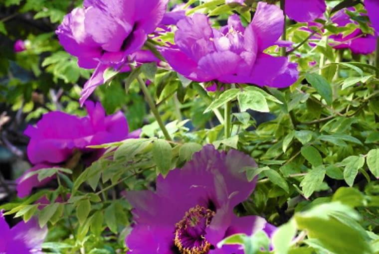 Peonie krzewiaste należą do elity ozdobnych krzewów. Niejednokrotnie przewyższają urodą nawet kwiaty róż czy różaneczników