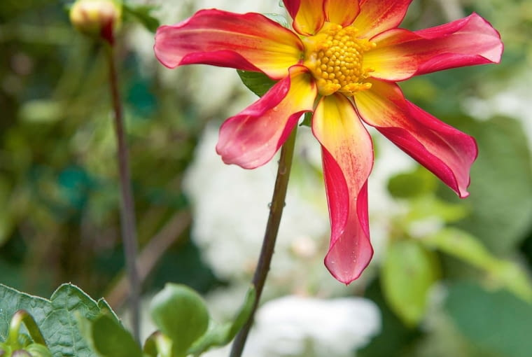 'Honka Surprise' - dalia gwiazdkowata, wys. 60-90 cm, śr. 'kwiatu' 10 cm.