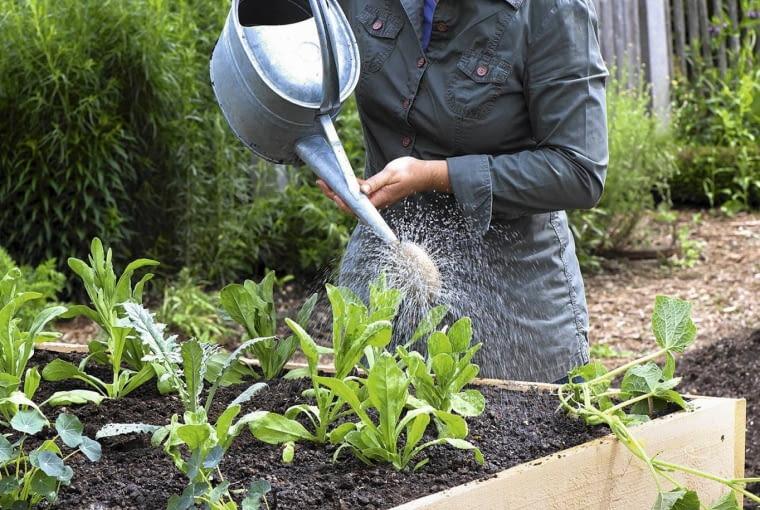 Hochbeet aus Brettern bauen : Frau giesst frisch bepflanztes Hochbeet gut an, Calendula ( Ringelblumen ), Artischocken ( Cynara scolymus ), Gurke ( Cucumis ) und Tropaeolum ( Kapuzinerkresse ) SLOWA KLUCZOWE: giessen Person STEPABFOLGE draussen Garten FR<HSOMMER Sommer Praxis hoch msgnp12 000 GEM<SE Sommerblumen Kr uter essbare
