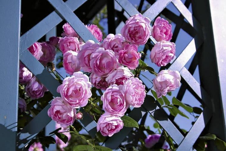 Róża pnąca Jasmina.