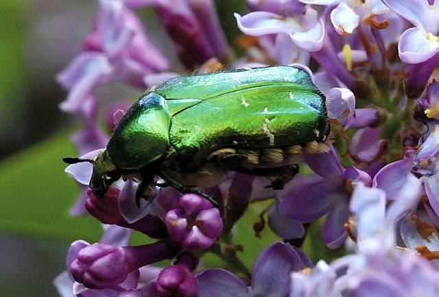 Kruszczyca to jeden z najpiękniejszych chrząszczy