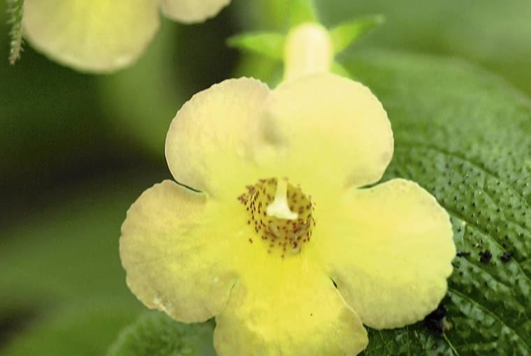 Achimenes 'Clouded Yellow' SLOWA KLUCZOWE: gesneriaceae Rozmyte Niski kontrast Średnia jakość