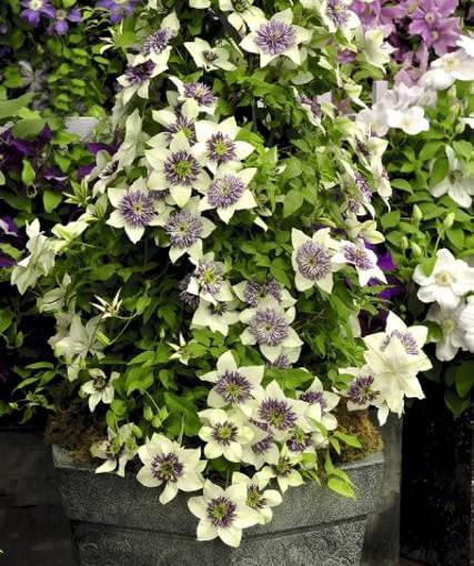 Wielkokwiatowy powojnik w efektownym pojemniku może być przez całe lato ozdobą tarasu lub balkonu