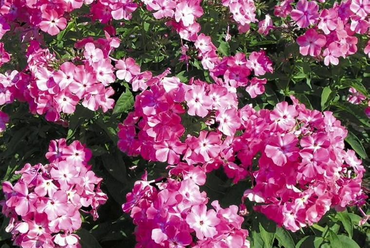Floks wiechowaty (Phlox paniculata). Pachnące kwiaty