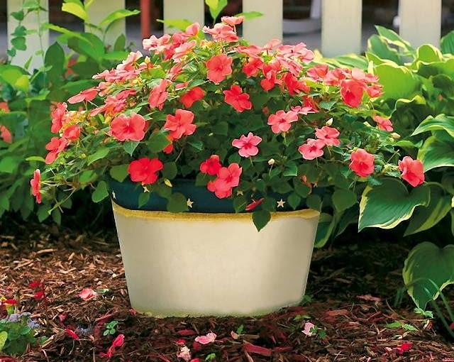 Niecierpek. Waleriana i nowogwinejski Dorastają do wysokości 20-30 cm. Kwitną do jesieni w kolorach podobnych do fuksji. Dobrze rosną w cieniu.