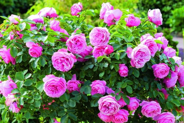 'Muscosa' - róża stulistna (R. ×centifolia), wys. 1,5 m, kwiaty o średnicy 8 cm; może rosnąć na słabszej glebie.