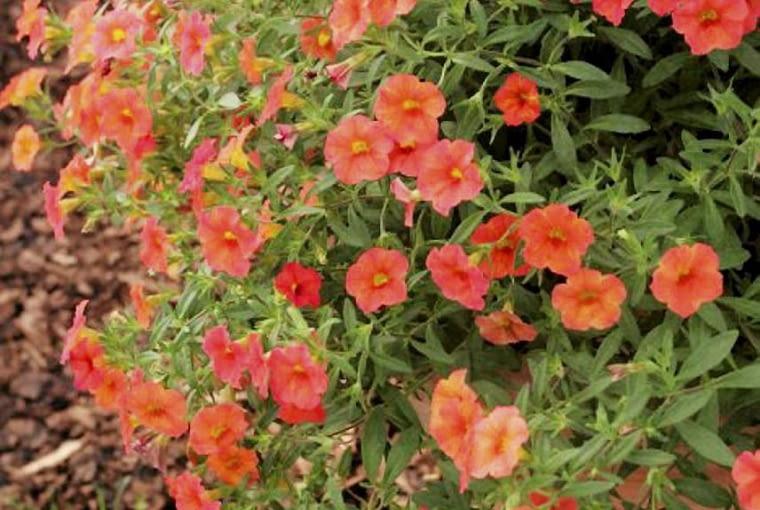 Petunie miniaturowe Million Bells, kwiaty balkonowe