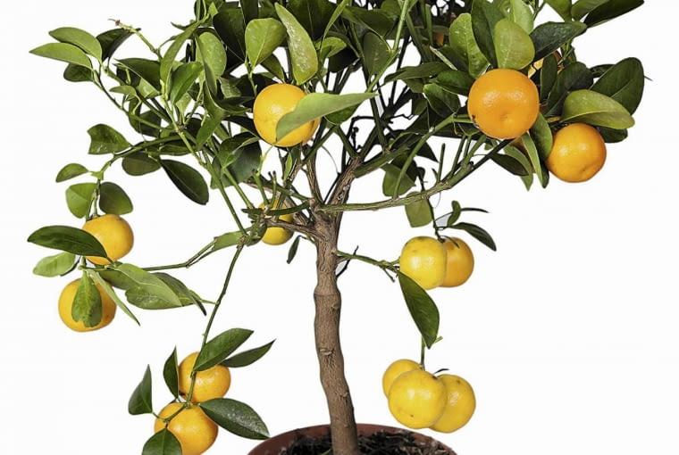 Z owoców kumkwatu uzyskamy sok bogaty w witaminy.