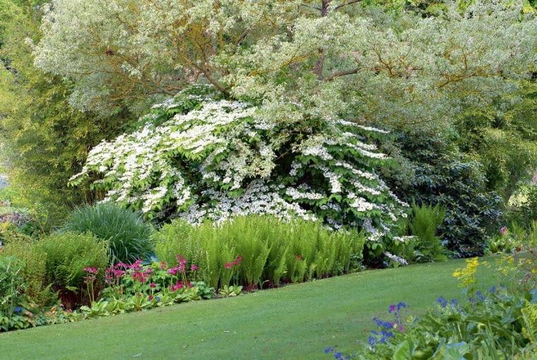 Wiosnę zwiastują kwitnące derenie ikolorowe wysokie pierwiosnki.