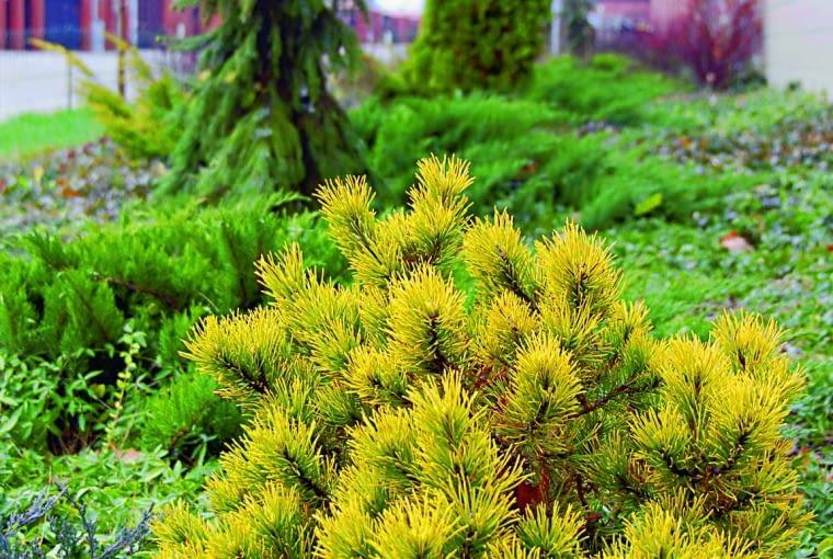 Sosna kosówka (Pinus mugo) 'Winter Gold'