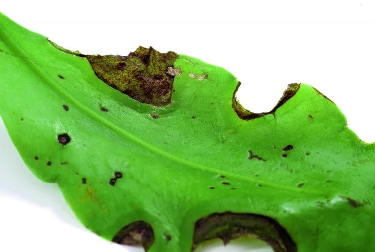 Na liściu epifilum widać ciemne przebarwienia. Przyczyna: plamistość liści.