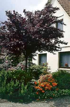 Śliwa wiśniowa (<i>Prunus cerasifera</i>) 'Nigra', bliska krewna ałyczy, ma purpurowe liście, podobny pokrój, dorasta do 2 m wysokości i kwitnie pod koniec kwietnia.