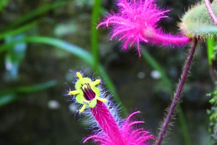 Columnea minor ma kwiaty pokryte włoskami, aich podstawę zdobią 'piórka'.