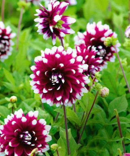 SLOWA KLUCZOWE: cebule cebulki cnb holandia karpa karpy kwiat kwiaty DUET - Decoratief