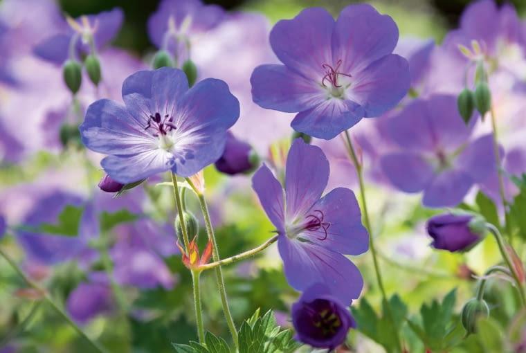 Bodziszek himalajski (Geranium himalayense)