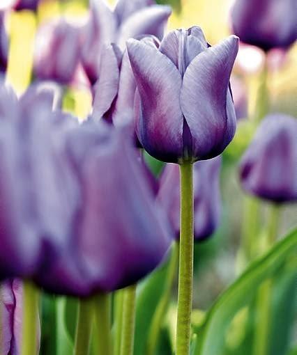 Tulipan 'Andre Rieu' to odmiana średnio wysoka, kwitnie pod koniec maja