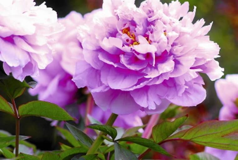 Pośród ogrodowych odmian najczęściej spotykamy krzewy o kwiatach pełnych lub podwójnych.