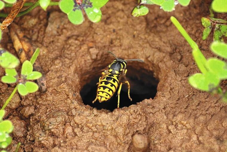 Podziemne gniazda os można zalać wrzątkiem lub preparatem owadobójczym, ale bezpieczniej zlecić ich likwidację firmie.