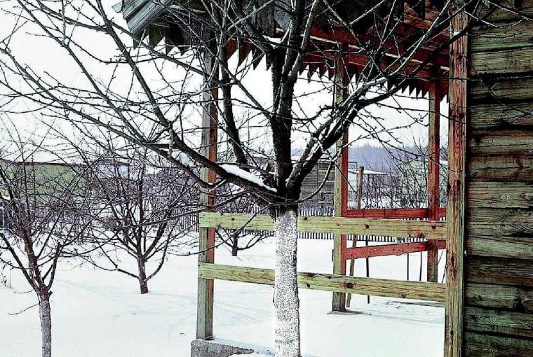 Jeśli wapno zostanie spłukane przez deszcz, zabieg należy wykonać ponownie, pnie drzew powinny być pobielone aż do początku marca
