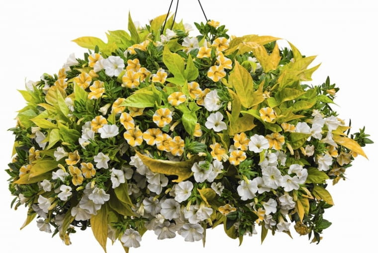 SLOWA KLUCZOWE: Calibrachoa Hanging Basket Ipomoea Lemon Slice Superbells Sweet Caroline Light Green White