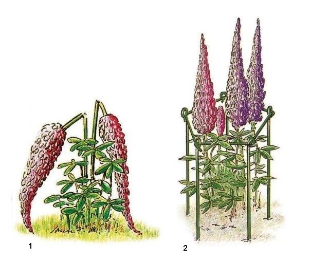 Wysokie rośliny o wiotkich łodygach często załamują się pod ciężarem masywnych, targanych wiatrem kwiatostanów (1). Zapobiegnie temu podpórka wykonana z kilku związanych ze sobą palików (2).