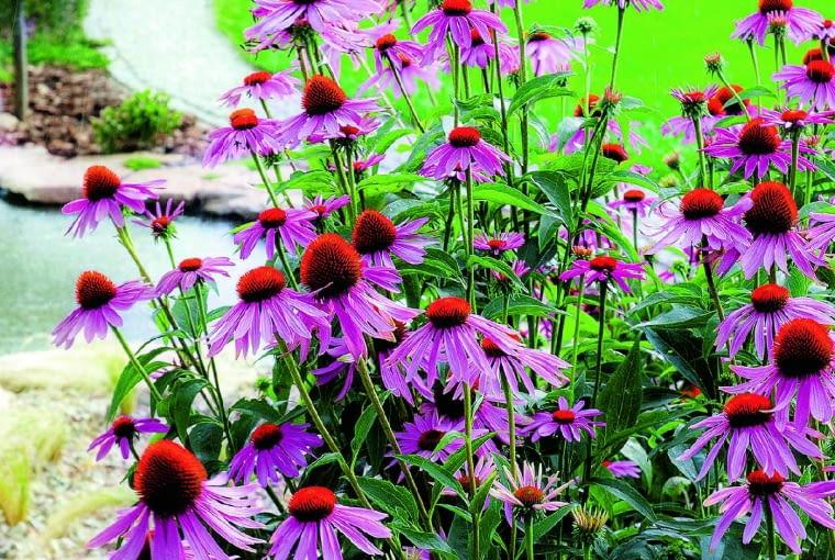 Typowa jeżówka purpurowa w ogrodach nie sprawia kłopotów. Ale dla jej wyszukanych odmian typowe podłoże zimą może okazać się zbyt wilgotne.