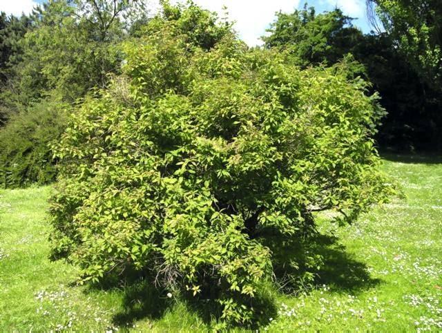 Dzięki stosunkowo niewielkim rozmiarom krzewy jagody kamczackiej nadają się także do małych ogrodów