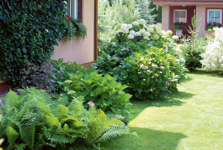 Imponujące hortensje przeróżnych odmian znalazły miejsce pod oknami po zachodniej stronie domu.