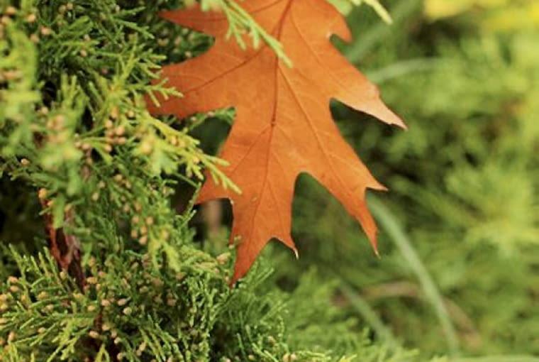 Pielęgnacja iglaków jesienią