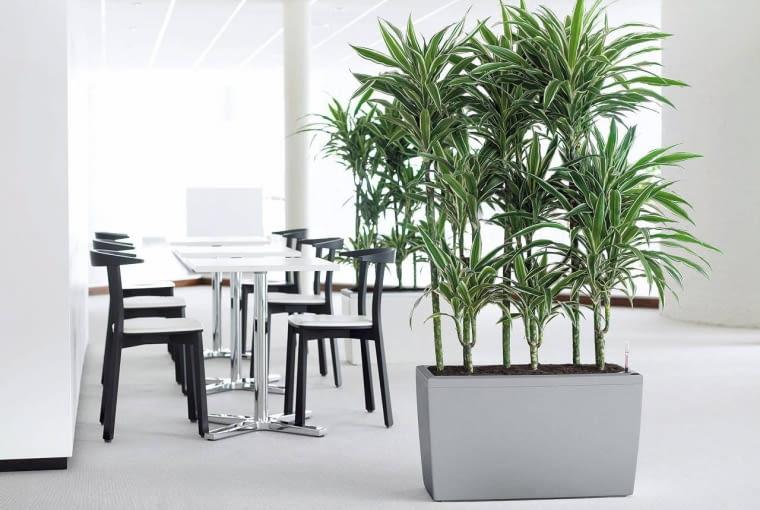 DRACENA WONNA ?WHITE STRIPE? (Dracaena fragrans) ze względu na biało paskowane liście lepiej rośnie, gdy stoi zimą w miejscu nasłonecznionym, a latem w lekko ocienionym.