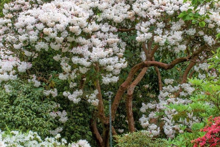 Rododendron 'Mount Everest' ma z pewnością kilkadziesiąt lat.