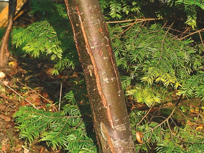 Podłużne pęknięcia na pniu drzewa. Przyczyna: uszkodzenia mrozowe.
