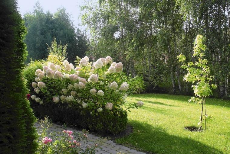 kochamy Hortensje bukietowe- mamy w ogrodzie 100 takich krzewów w różnych odmianach