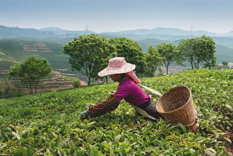 NAJWYŻSZĄ jakość ma herbata ze zboczy gór, np. chińskiej prowincji Junan.