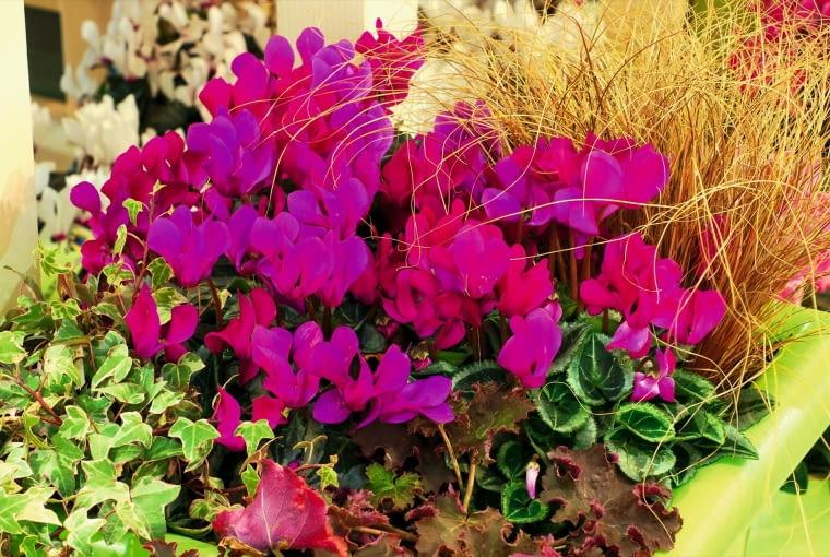 ODMIANY Z SERII CANTO osiągają wysokość 25-30 cm. Są zdrowe i odporne. Na zdjęciu odmiana 'Violet'.