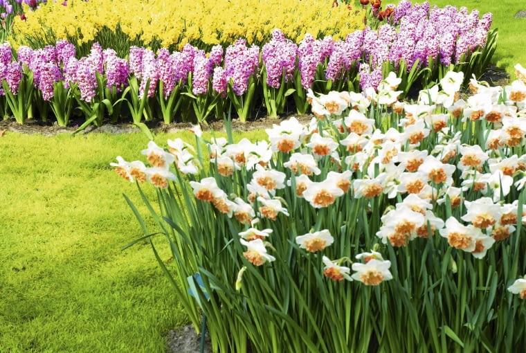 Rośliny cebulowe,Szafirek (Muscari), Narcyz (Narcissus), Hiacynt (Hyacinthus)