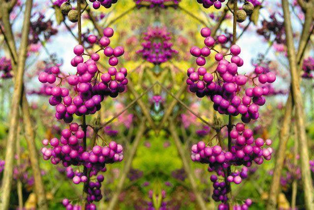 SLOWA KLUCZOWE: calicarpa dendrologia botanika owoce jesieÄąâ ž fioletowe krzew ozdobne ogrÄ,A,d pi 'â'cknotka