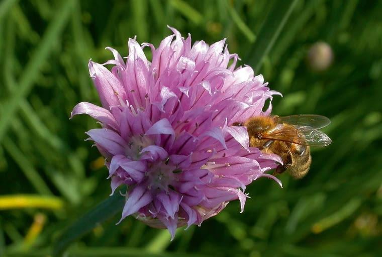 Cebula siedmiolatka tworzy wczesnym latem kuliste kwiatostany.