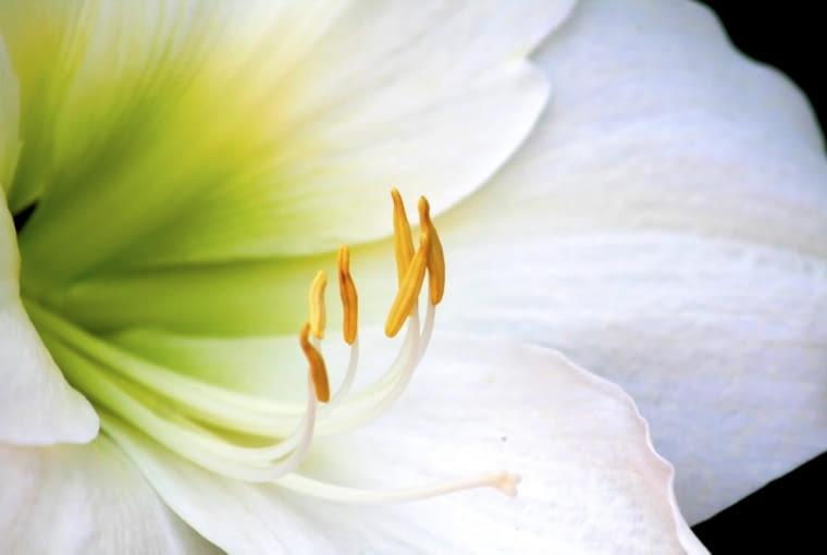 Lilia, bylina ogrodowa, roślina cebulowa