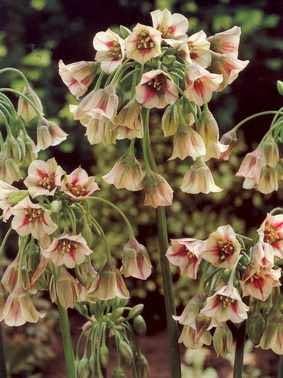 Czosnek Siculum. Kwiaty cebulowe