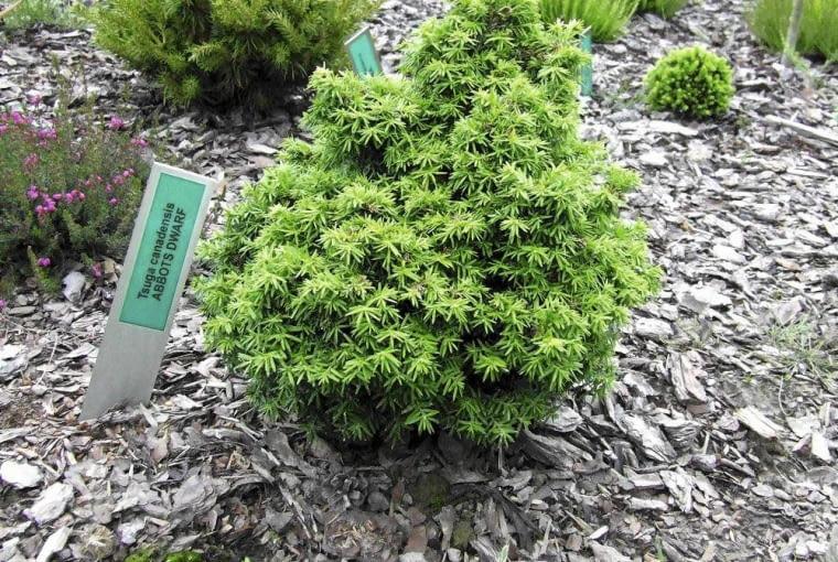 'ABBOTS DWARF' jest miniaturową odmianą choiny kanadyjskiej. Po latach osiąga około 90 cm wysokości.