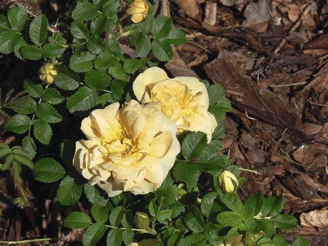 Róża pomarszczona 'Agnes' kwitnie w maju i czerwcu. Jest krzewem o wysokości 1,5-2m i luźnym pokroju.