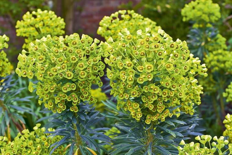 Wilczomlecz błękitnawy (Euphorbia characias)