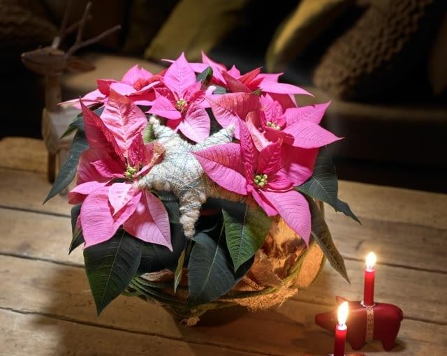 Gwiazda betlejemska - bożonarodzeniowe kompozycje