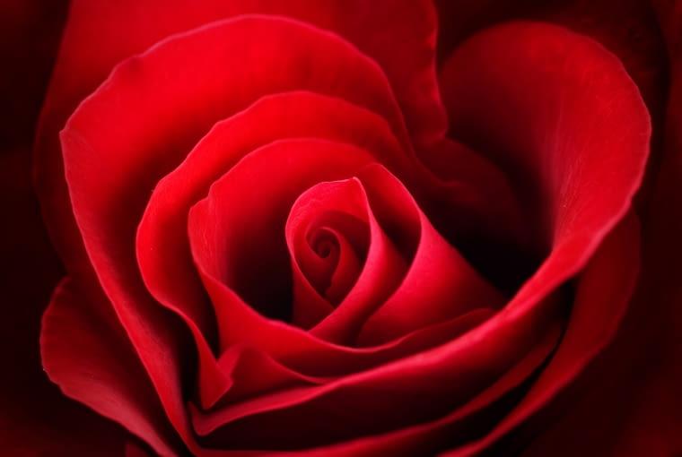 Róża, kwiaty cięte