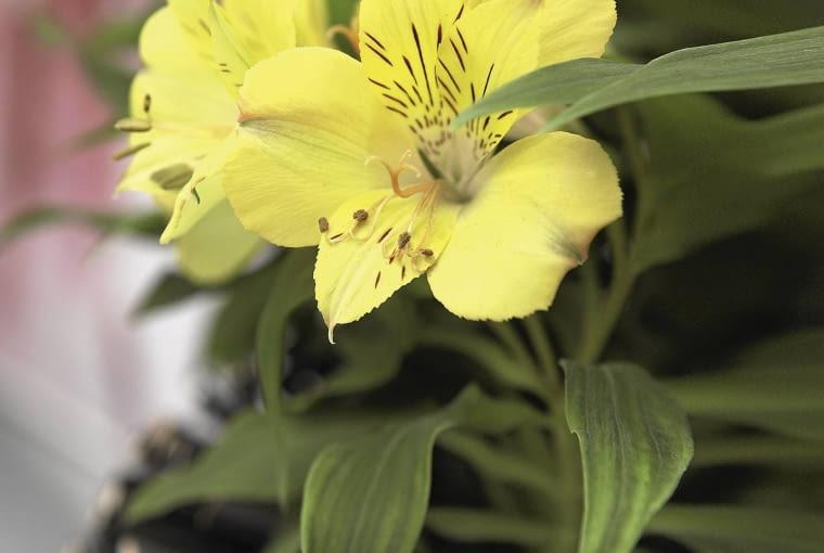 Alstremeria 'Ariane' (Alstroemeria) jest mieszańcem dorastającym do 30 cm. Kwitnie przez cały sezon. Ścięte kwiaty są bardzo trwałe.