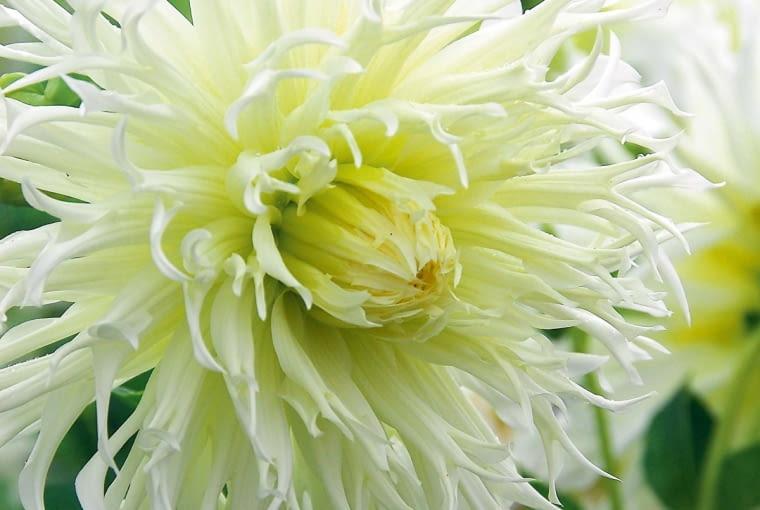 'Tsuki-Yori-No-Shisha' - dalia kaktusowa, wys. 90-120 cm, śr. 'kwiatu' 15-20 cm.