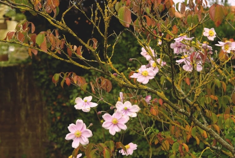 ;01AAGXUU - Japanese anemones with Kousa dogwood in a garden